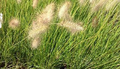 Picture for category Grasses