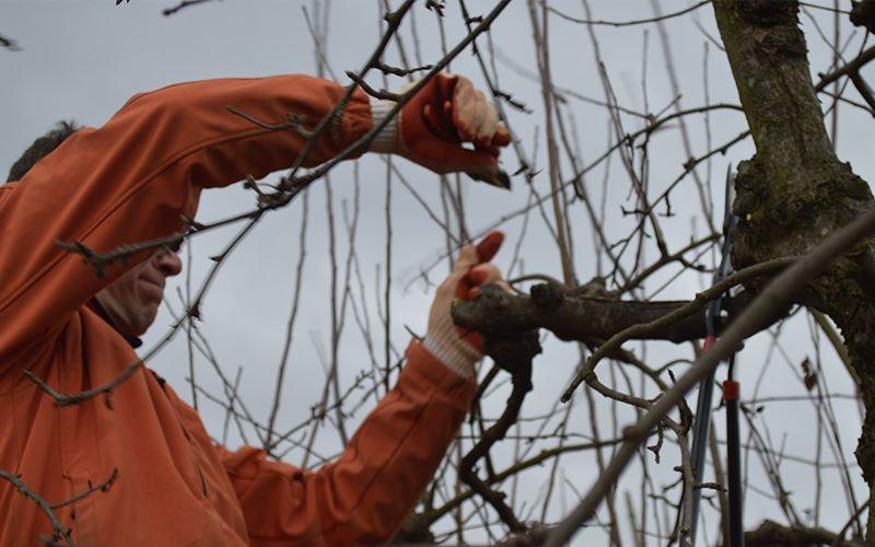Baumschnitt bei Obstbäumen