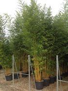 Picture of Bambusi
