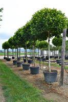 Okrasna drevesa