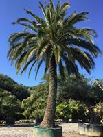 Palme - Archontophoenix, Arecastrum, Brahea, Chrysalidocarpus, Howea, Livistona, Phoenix, Ravenea, Sabal, Trachycarpus, Trithrinax, Washingtonia