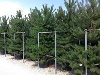 Bori – Pinus