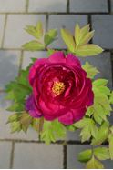 Picture of Potonike – Paeonia