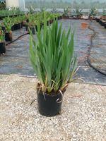 Perunike – Iris