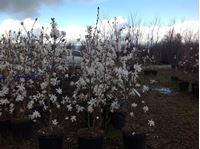 Magnolije – Magnolia