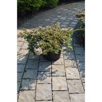 Brini - Juniperus