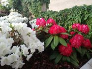 Picture of Rododendroni in azaleje - razkošje barv