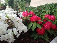 Rododendroni in azaleje - razkošje barv