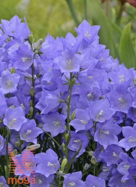 """breskovolistna zvončnica """"Takion Blue"""""""