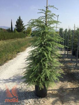 himalajska cedra