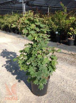 "japonski javor ""Vitifolium"""