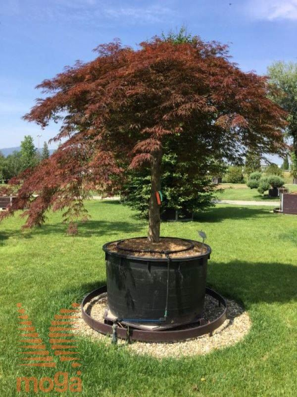 Japanese Maple Crimson Queen Vrtni Center Moga