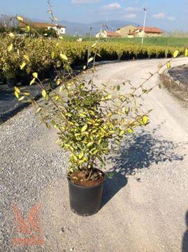 "bodeča oljčica ""Maculata"""