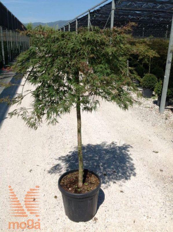 Japanese Maple Orangeola Vrtni Center Moga