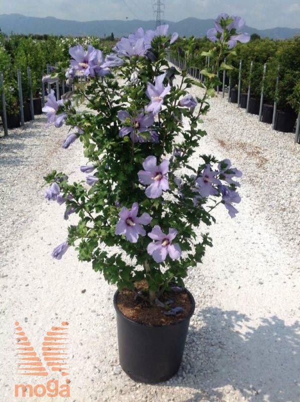 Hibiscus Syriacus Blue Bird Vrtni Center Moga