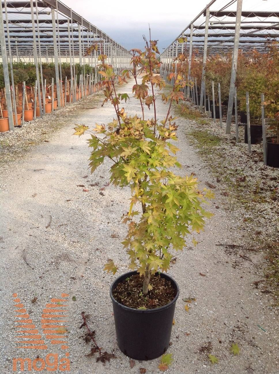 Acer Palmatum Summer Gold Vrtni Center Moga