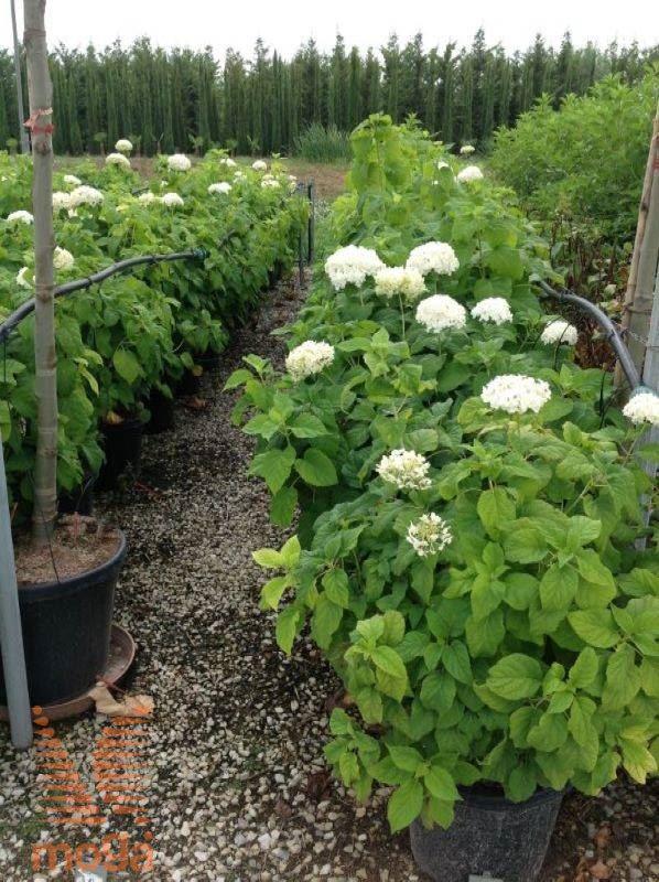 Hortensie Annabell wald hortensie annabelle vrtni center moga