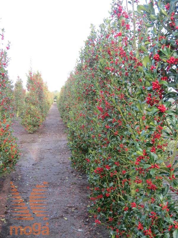 Ilex Aquifolium Pyramidalis Vrtni Center Moga