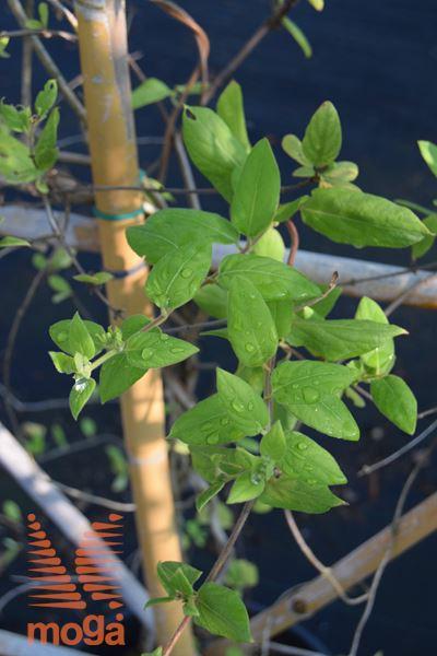 "japonsko kosteničevje ""Aureoreticulata"""