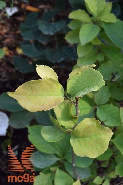 """magnolija """"Genie"""""""