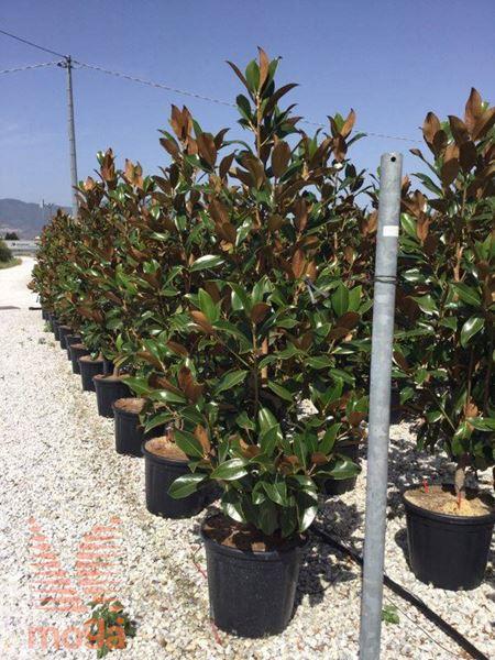 "velecvetna magnolija ""Gallisoniensis"""