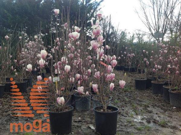 sulanževa magnolija