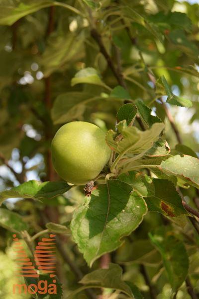 """jablana """"Štajerski mošancelj"""""""