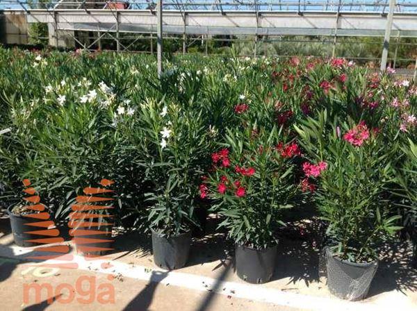 navadni oleander