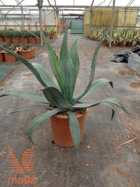 ameriška agava