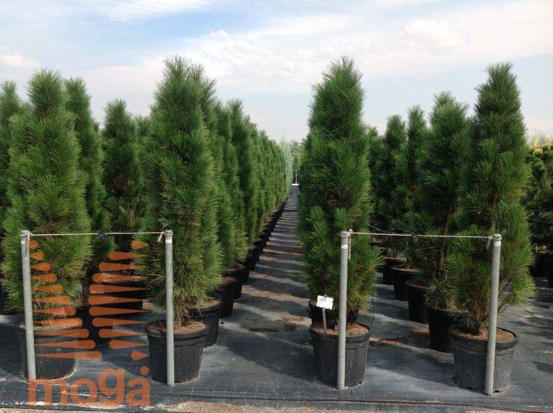 Black Pine Quot Green Tower Quot Vrtni Center Moga