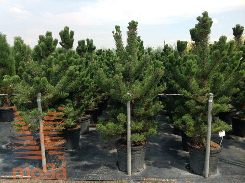 Pinus Nigra Oregon Green Vrtni Center Moga