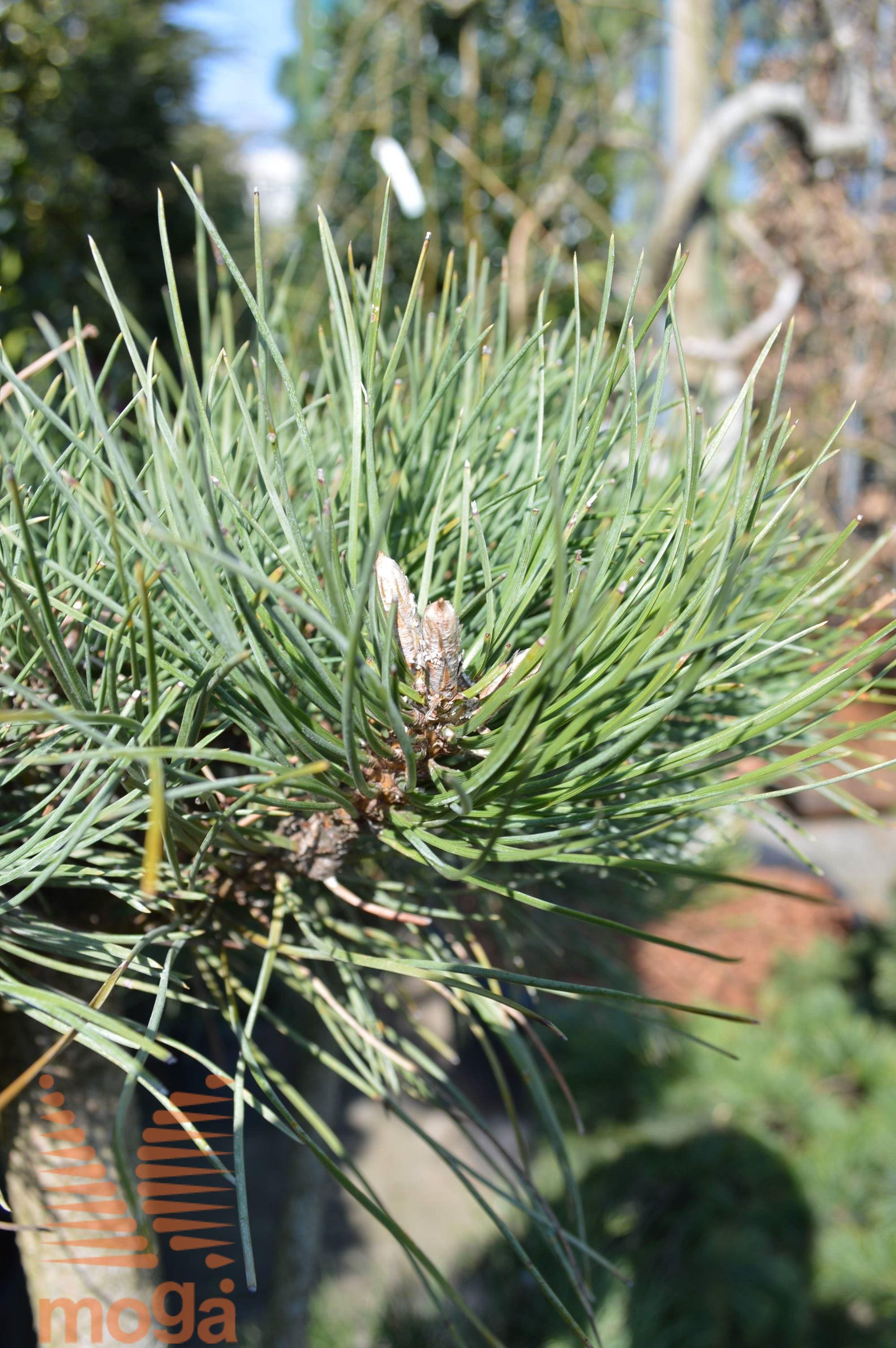 Japanese white pine vrtni center moga japonski beli bor izmirmasajfo