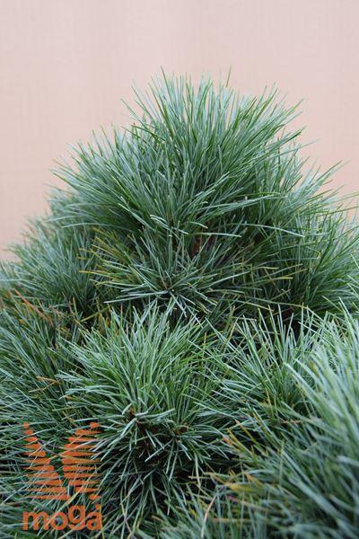"zeleni bor ""Sea Urchin"""