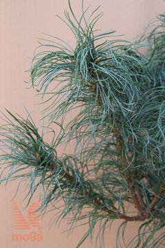 """zeleni bor """"Tiny Curls"""""""