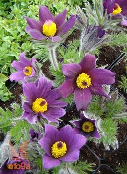 "travniški kosmatinec ""Pinwheel Blue Violet Shades"""