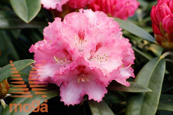 """rododendron """"Arabella"""""""