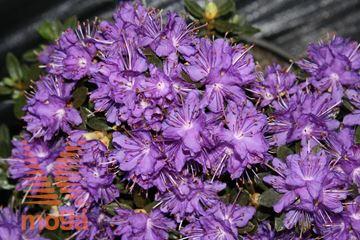 "rododendron ""Azurika"""
