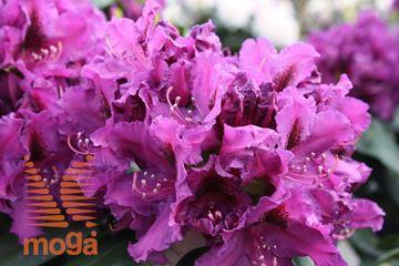 """rododendron """"Azurro"""""""