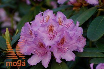 """rododendron """"Catawbiense Grandiflorum"""""""