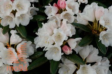 "rododendron ""Edelweiss"""