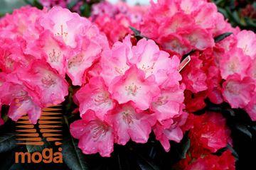 """rododendron """"Fantastica"""""""