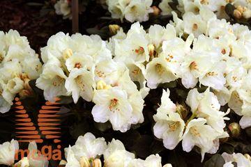 """rododendron """"Flava"""""""