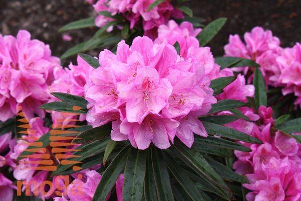 """rododendron """"Graziella"""""""