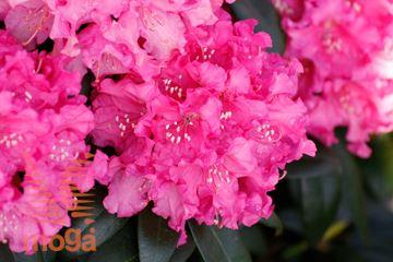 """rododendron """"Kalinka"""""""