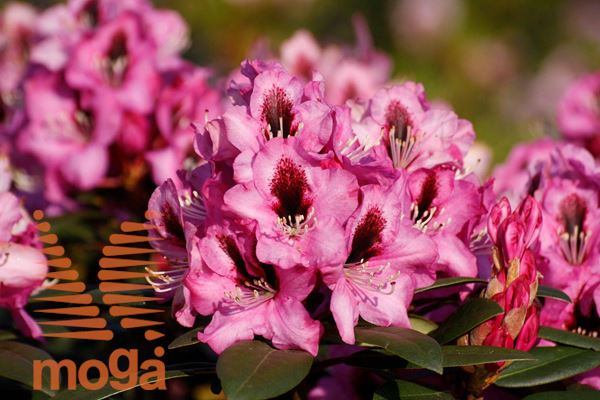 "rododendron ""Kokardia"""