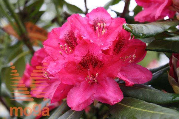 "rododendron ""Nova Zembla"""