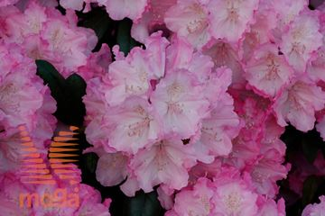 "rododendron ""Polaris"""