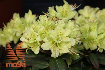 "rododendron ""Princess Anne"""