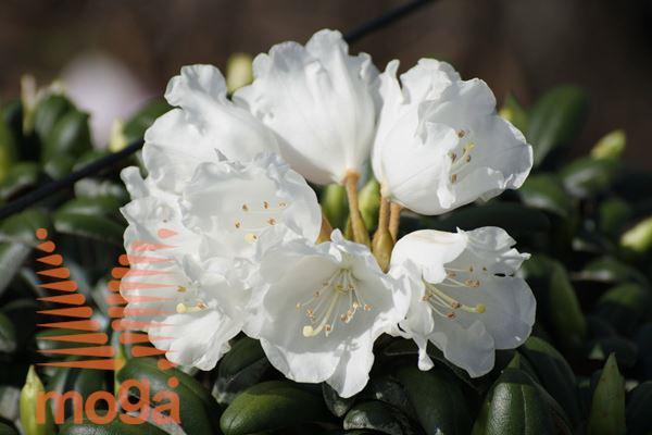 """rododendron """"Schneekissen"""""""