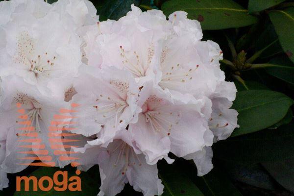 """rododendron """"Schneekrone"""""""